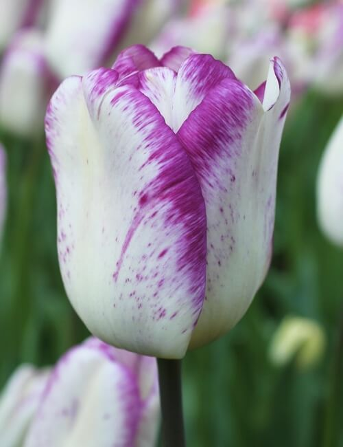 Сорта тюльпанов Ширли