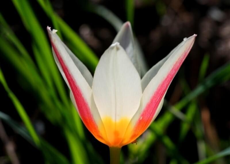Сорта тюльпанов Кауфмана