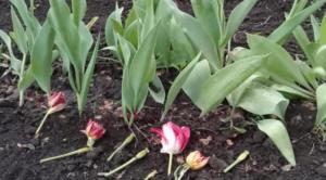 весна подкормка тюльпанов