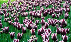 Когда можно выкапывать тюльпаны для пересадки
