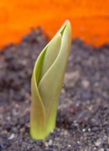 Как размножить тюльпаны семенами