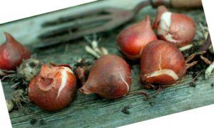 Что делать с выкопанными луковицами тюльпанов
