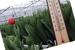 Как хранить луковицы тюльпанов до посадки осенью