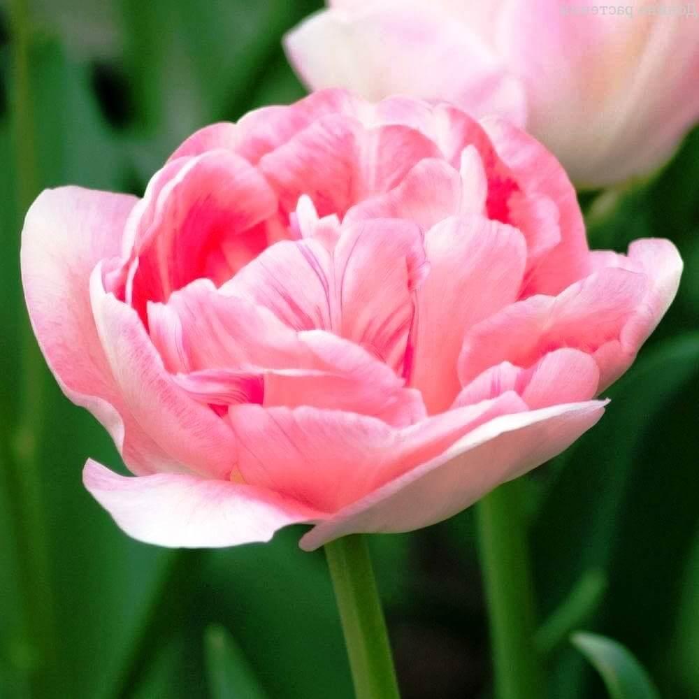 Сорта тюльпанов Анжелика