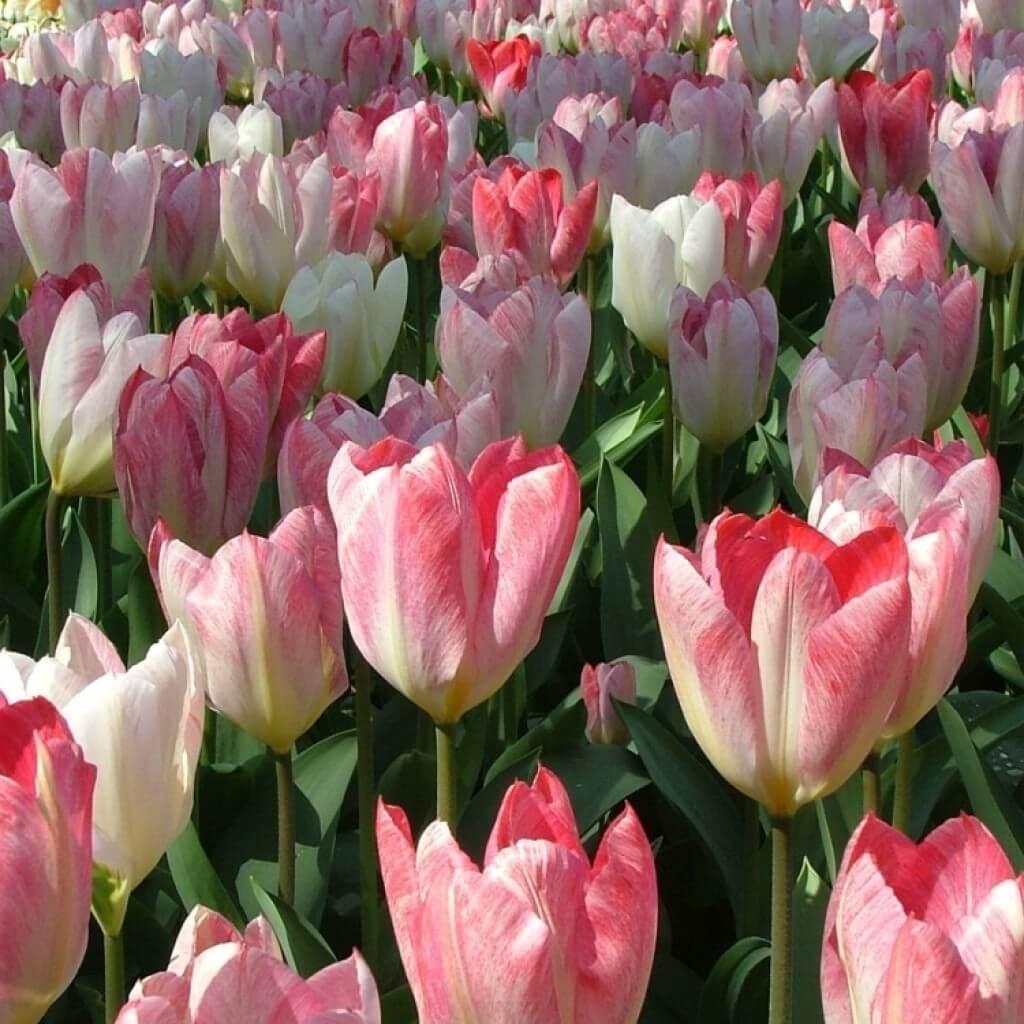 Сорта тюльпанов Фостера