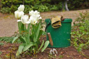 Уход за тюльпанами