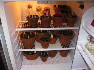 Как хранить тюльпаны в домашних условиях
