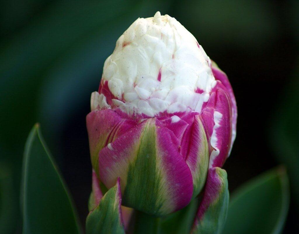 Сорта тюльпанов Айс Крим