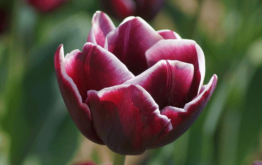 Сорта тюльпанов Александр Пушкин