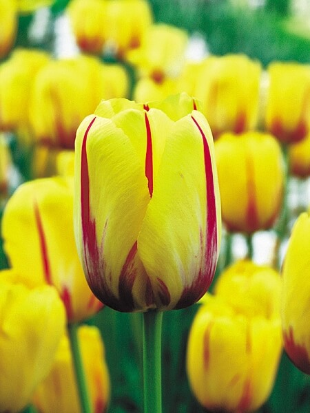 Сорта тюльпанов Князь Владимир