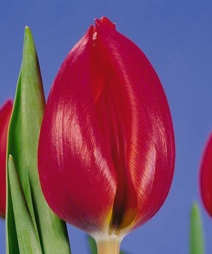 Тюльпан Адамо