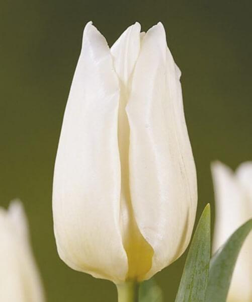 Тюльпан Аграсс Вайт