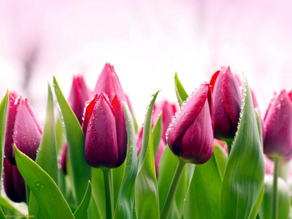 Сорта тюльпанов