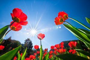 В каком месяце выкапывают тюльпаны