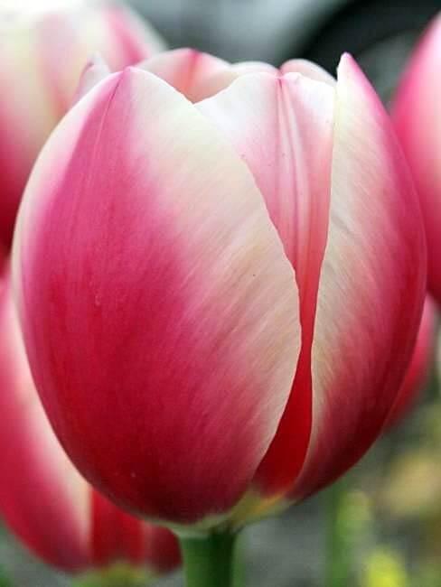 Сорта тюльпанов Русская принцесса