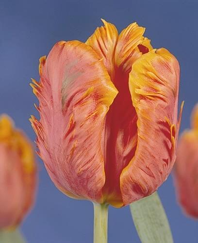 Сорта тюльпанов Гласность
