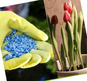 Чем подкормить тюльпаны после цветения