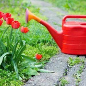 Тюльпаны уход и выращивание