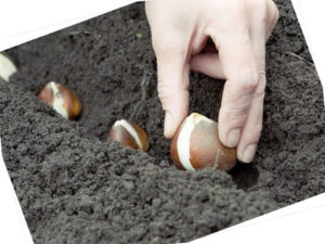 как размножить тюльпаны