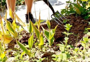 Когда можно выкапывать луковицы тюльпанов после цветения