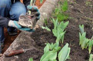 Можно ли пересаживать тюльпаны весной