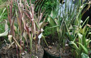 Пересадка тюльпанов после цветения