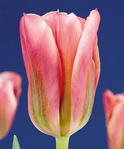 Тюльпан Адриан Доминик