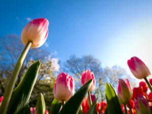 Глубина посадки тюльпанов