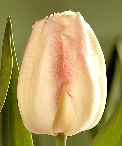 Тюльпан Акела