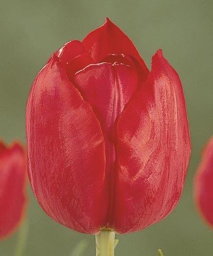 Тюльпан Аннек