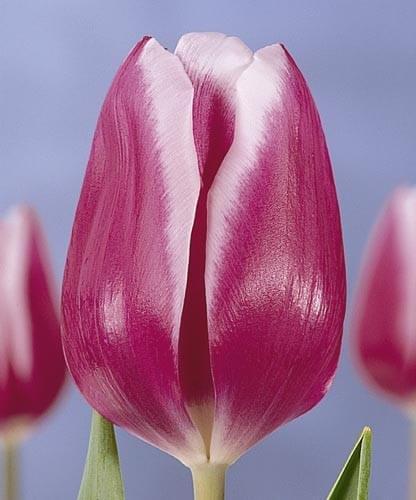 Тюльпан Арабиан Леди