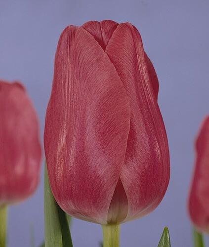 Тюльпан Ариана