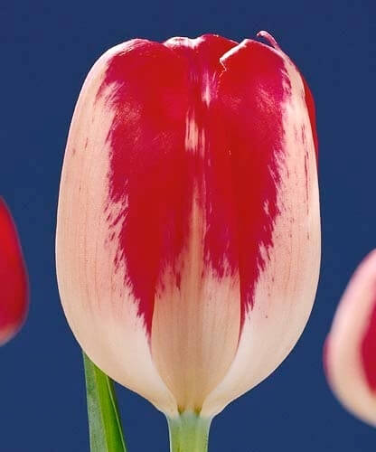 Тюльпан Аякс