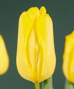 Тюльпан Аграсс голд