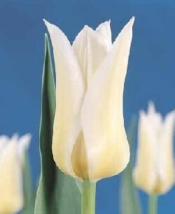 Тюльпан Баллад Уайт