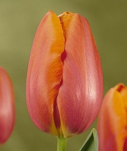 Тюльпан Батавиа