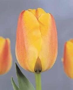 Тюльпан Бенвеню