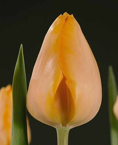 Тюльпан Бестселлер