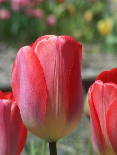 Тюльпан Биг Чиф