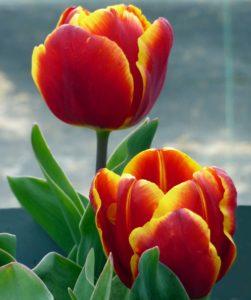 Описание тюльпана