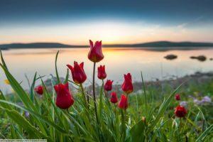 Родина тюльпанов