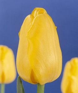 Тюльпан Алиес