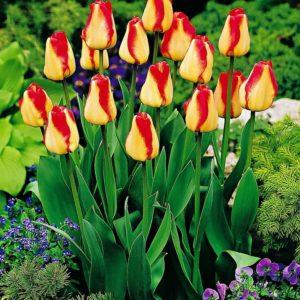 Луковица тюльпана Американ Дрим