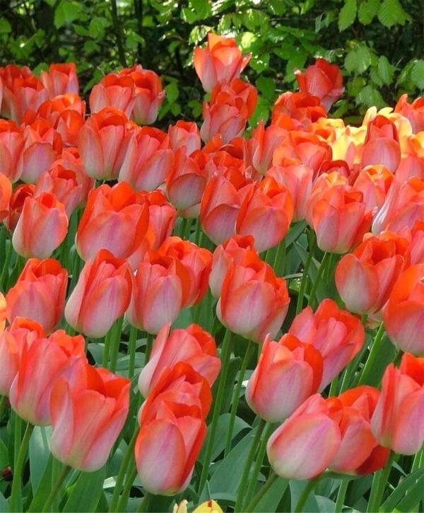 Купить луковица тюльпана Биг Чиф