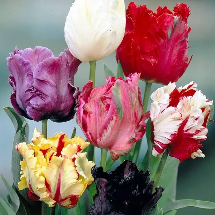 Тюльпаны попугайные