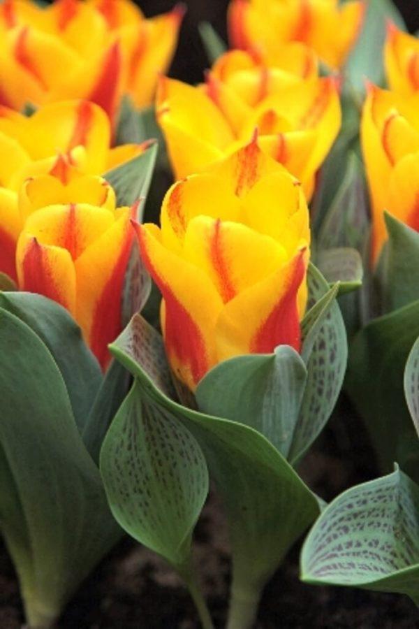 Луковица тюльпана бон бини