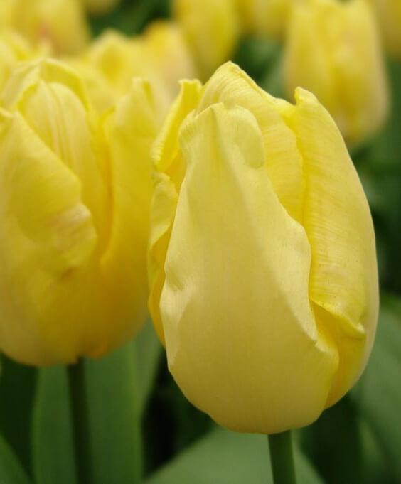 Тюльпаны простые ранние
