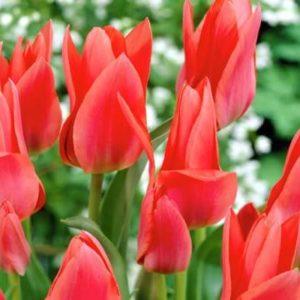 Луковица тюльпана Торонто