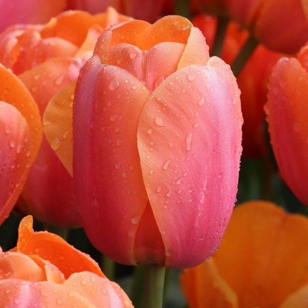 Луковица тюльпана Эприкот Импрешн
