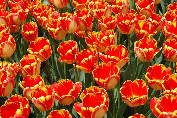 Купить луковица тюльпана Банья Лука
